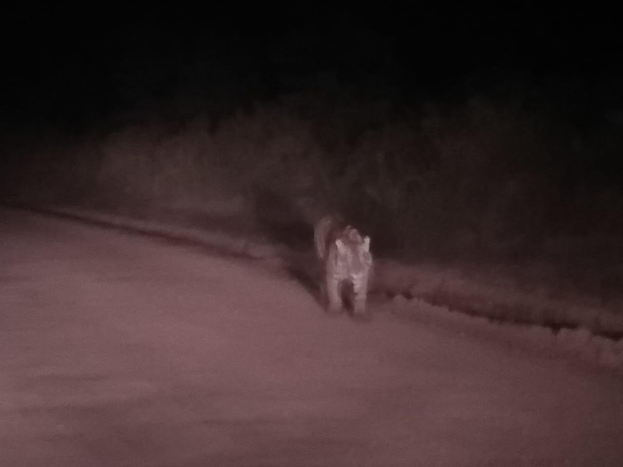 penampakan-harimau-sumatera-di-banyuasin-bukan-di-muba-muba41941566551922.jpg