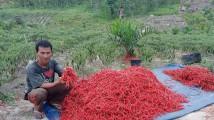 Petani dari Kelompok tani Agung Mulia yang menunjukkan hasil taninya.