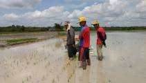 Kegiatan Penanaman Padi disawah Binaan Yayasan Baitul Maal BRI (YBM-BRI) di Desa Teluk Kecamatan Lais